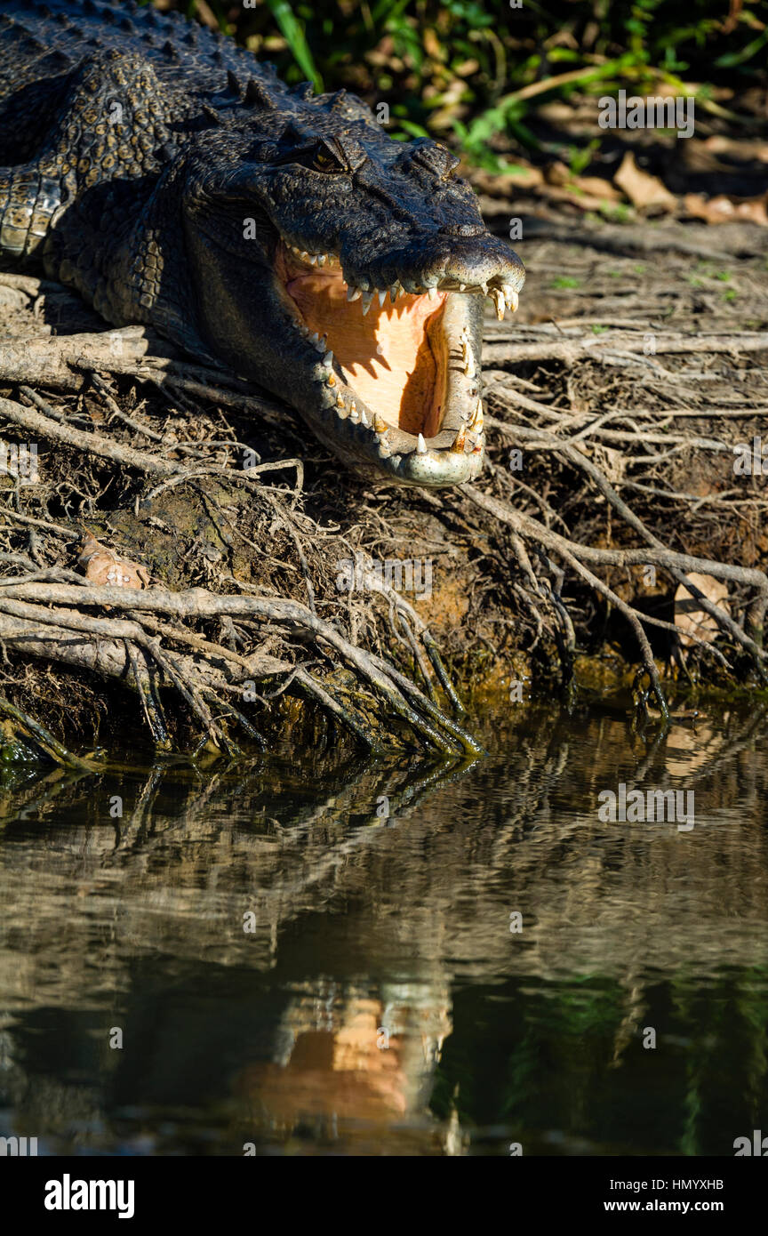 A Saltwater Crocodile sunbasking on the shores of a wetland with it's powerful jaws open to thermoregulate it's - Stock Image