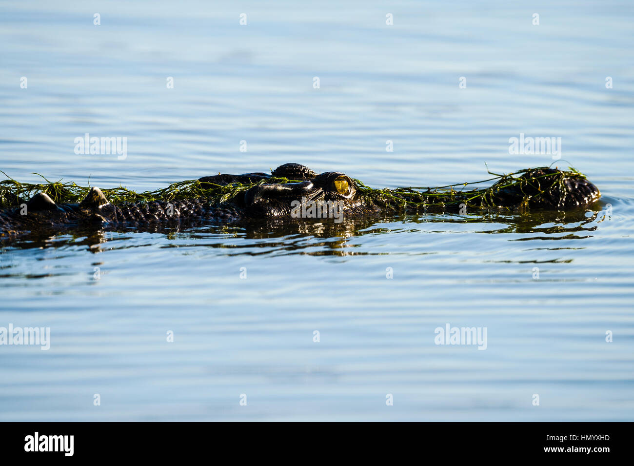 A Saltwater Crocodile floating on the surface of a wetland at sunset. - Stock Image