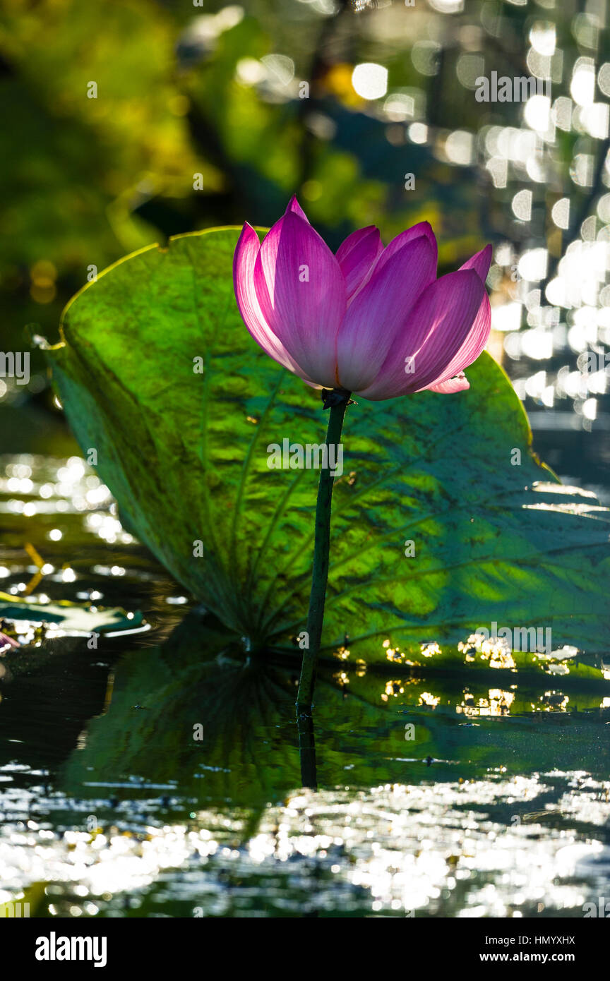 A backlit pink water lily flower in a wetland at sunset. - Stock Image