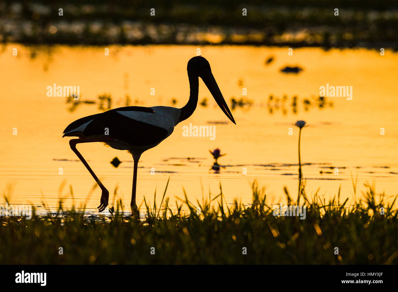 The silhouette of a Black-necked Stork hunting for prey in the shallows at sunset. - Stock Image