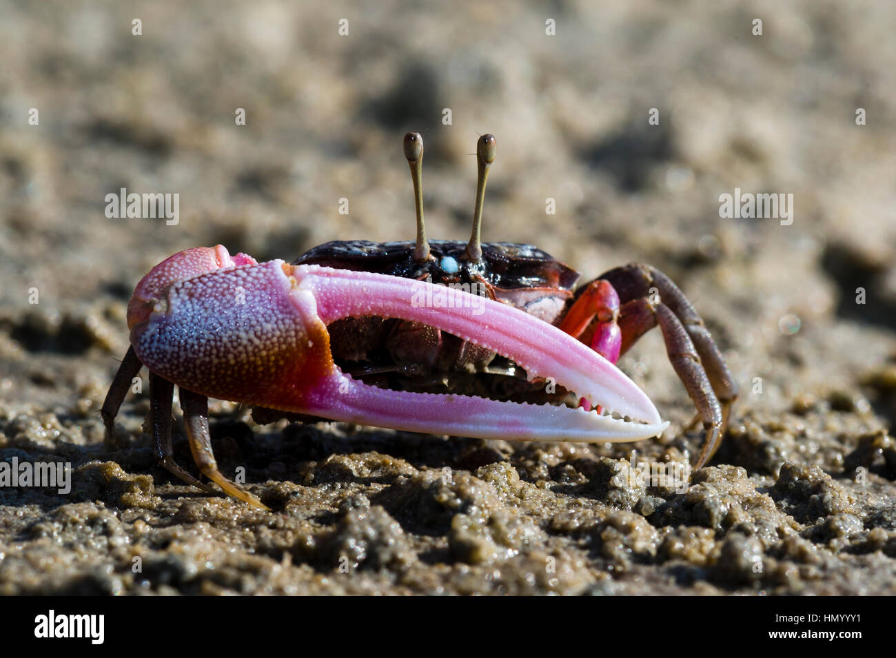 The bright pink claw of a male Fiddler Crab used for defense on a tidal flat. - Stock Image
