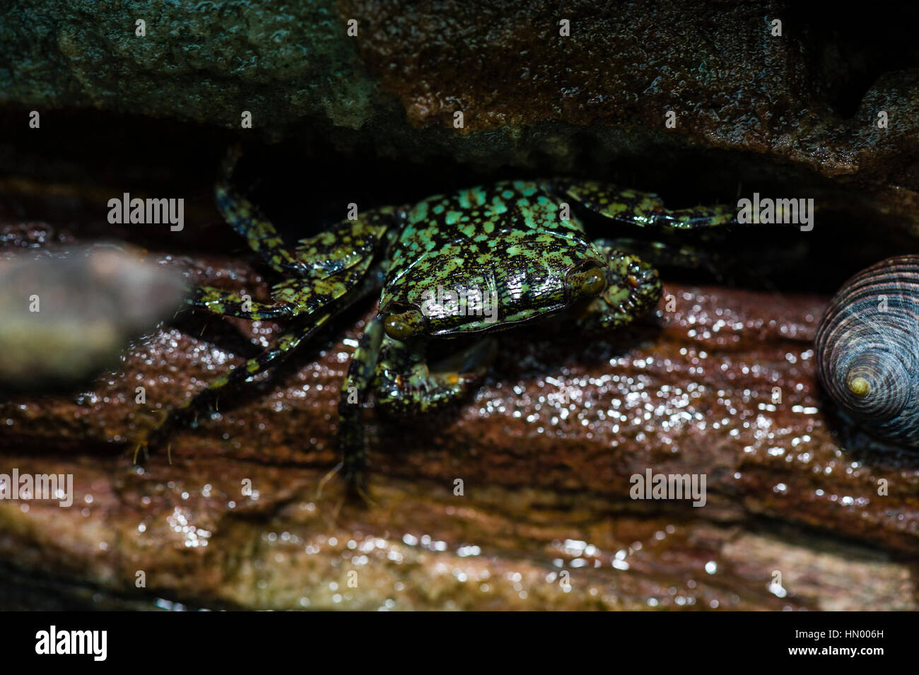 A Pale-lined Tropical Rock Crab hiding in a crevasse on a cliff at low tide. - Stock Image