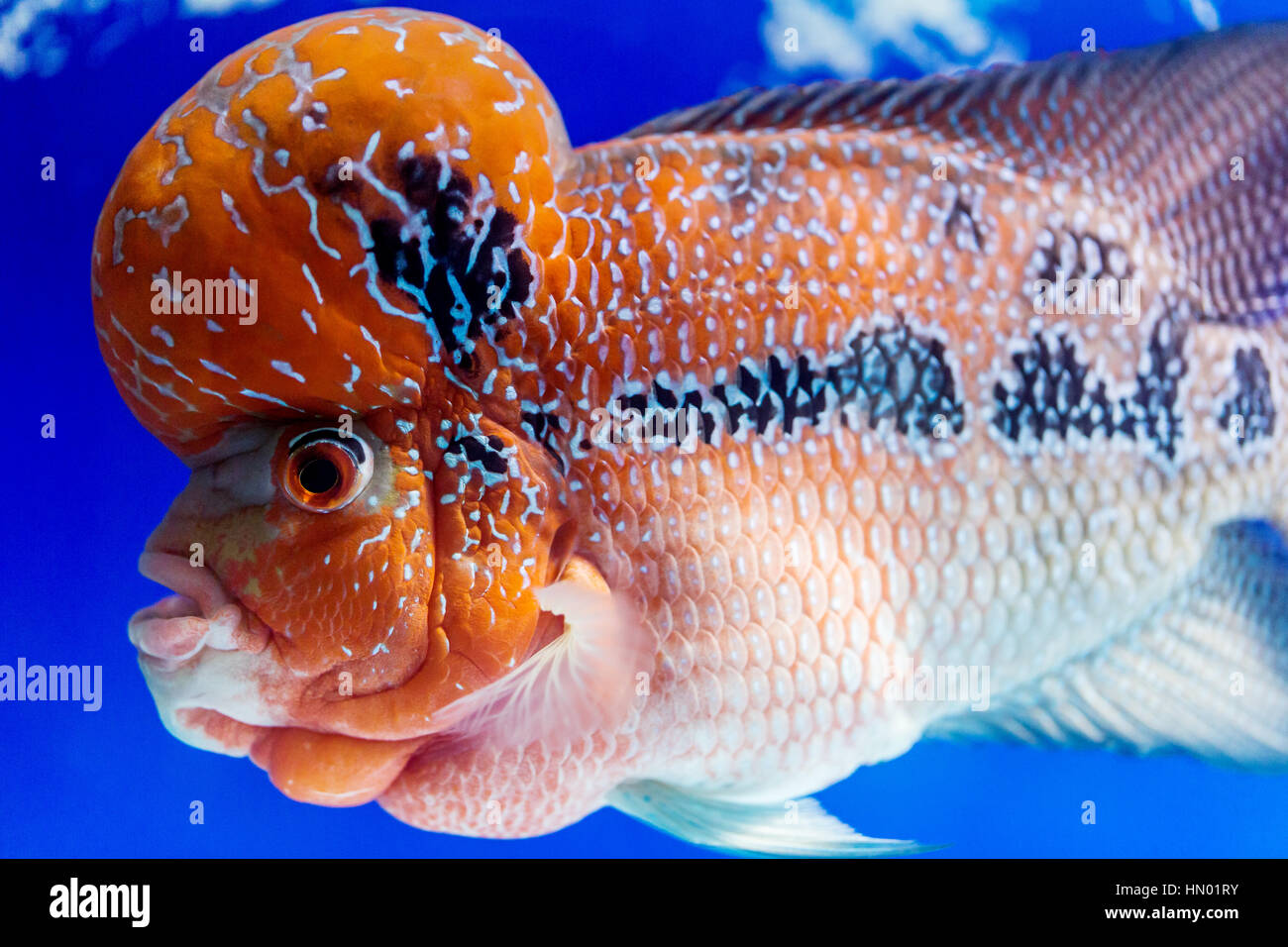 flowerhorn cichlid stock photos & flowerhorn cichlid stock images