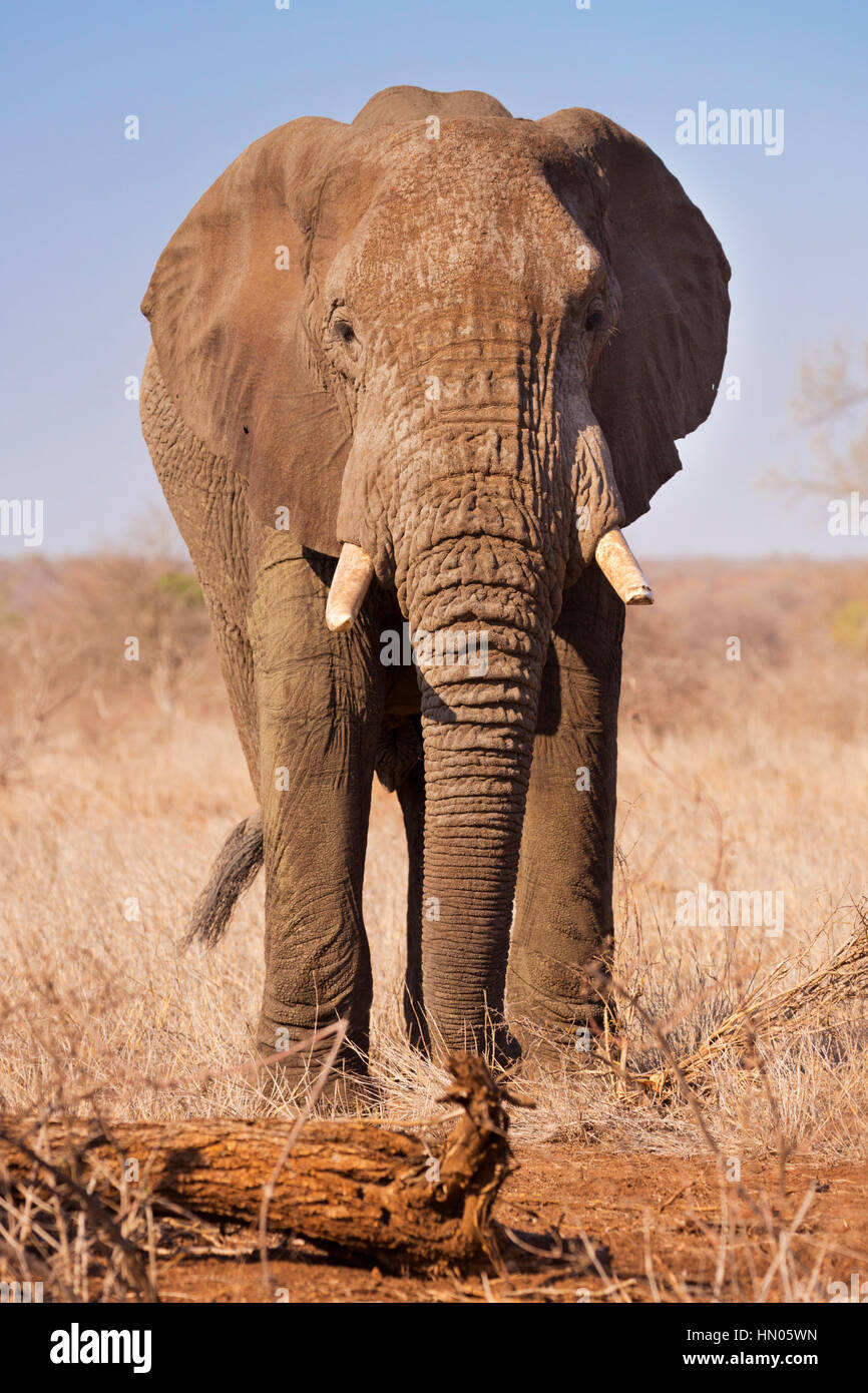 An elephant in Kruger National Park in South Africa. - Stock Image