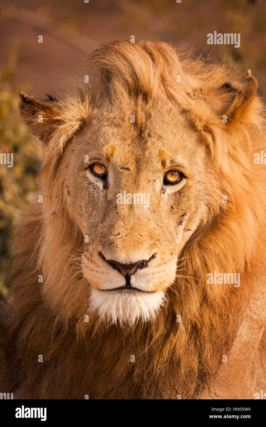 Close up of a male lion in early morning sunlight in Kruger National Park, South Africa. - Stock Image