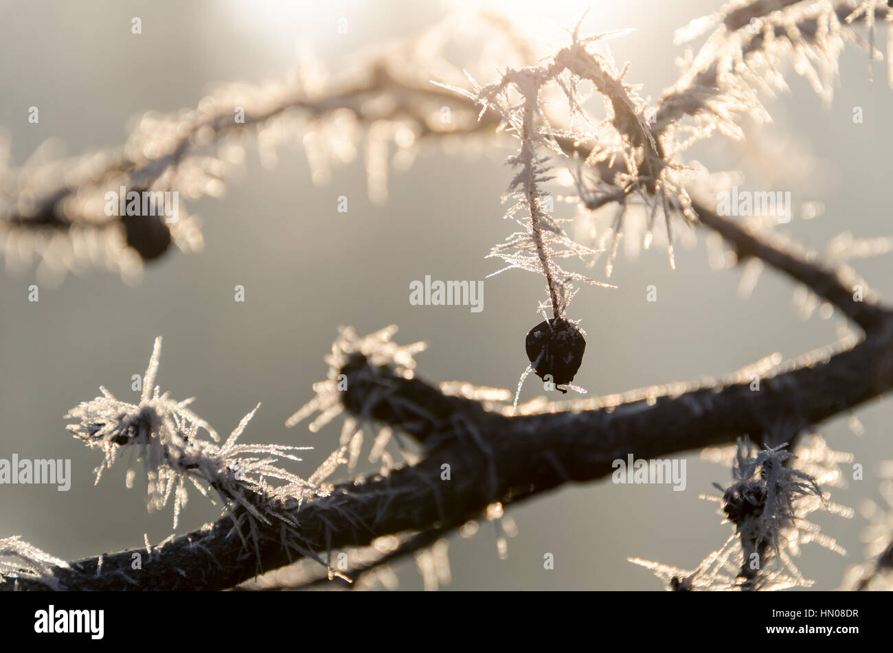 Frozen branches in sunlight, Munich, Germany Stock Photo