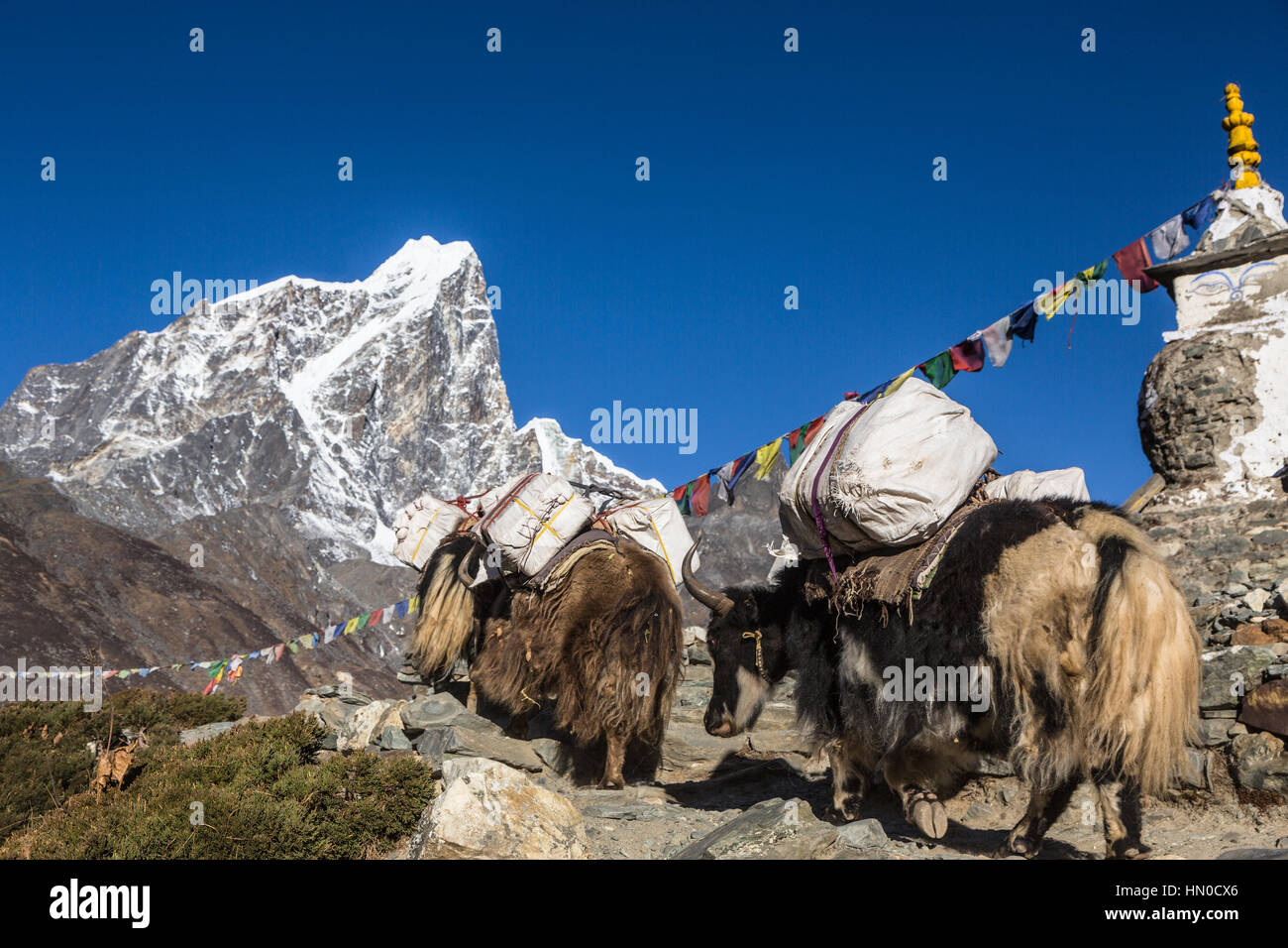 Yaks carrying goods above the Dingboche (4800m) on the way to Everest Base camp in the Khumbu region of Nepal. The - Stock Image