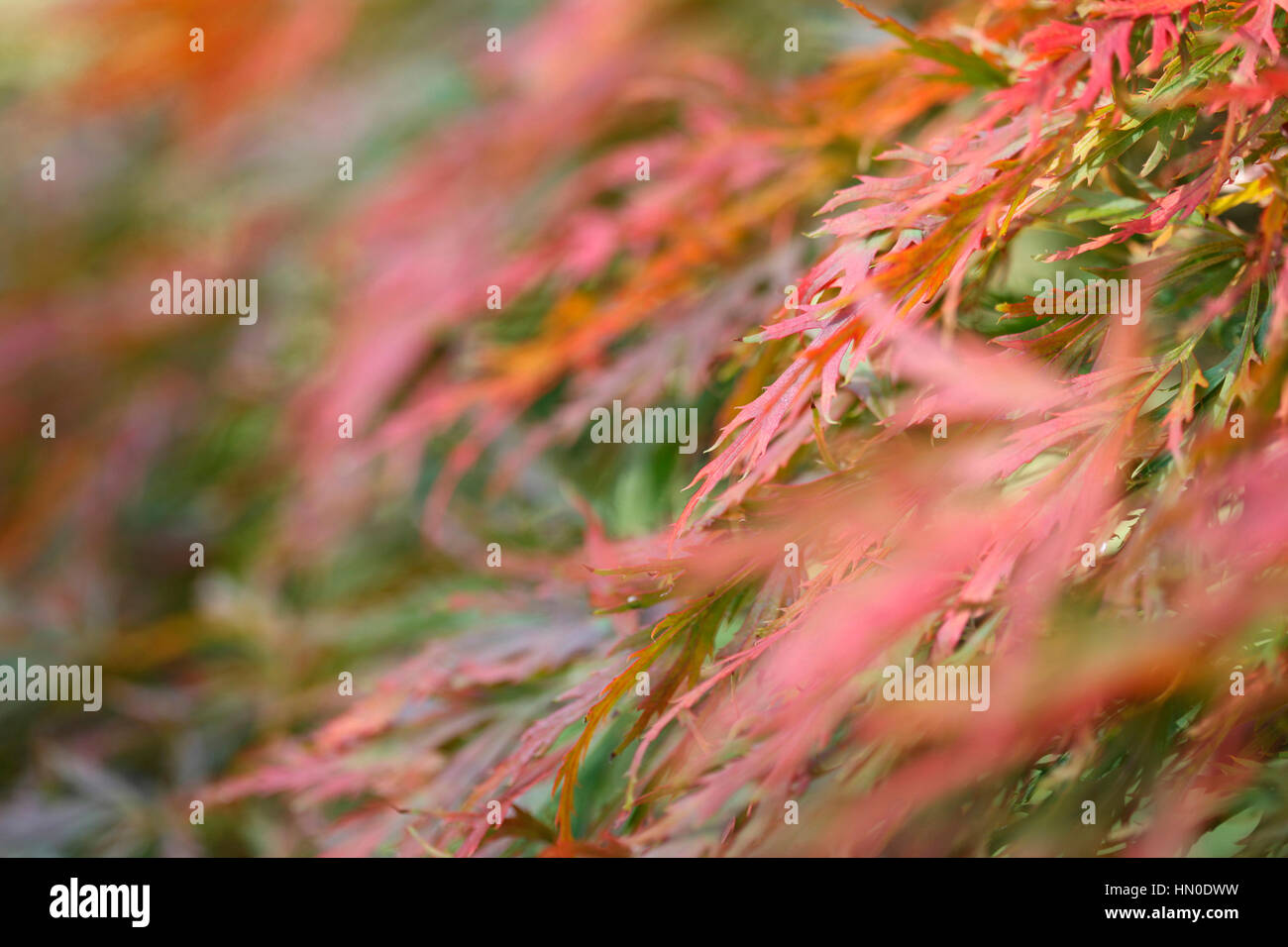 acer palmatum, cut-leaved japanese maple, autumn leaves changing colour, sunny day  Jane Ann Butler Photography Stock Photo