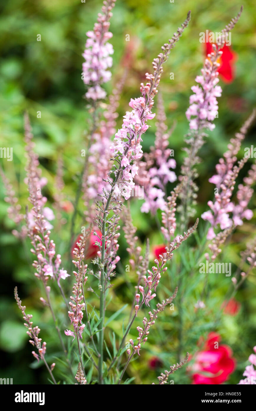 Linaria purpurea 'Canon Went' - toadflax in summer - Stock Image
