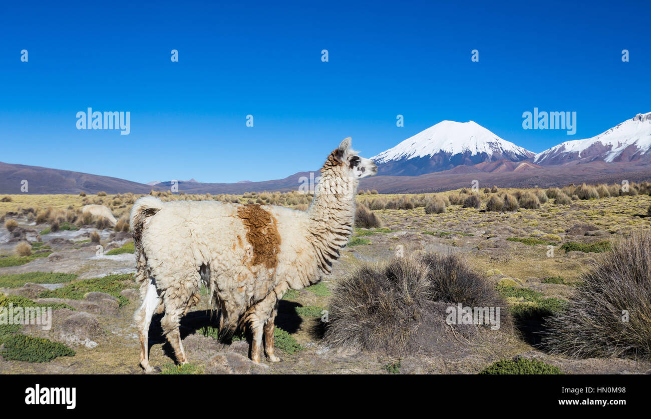 The Andean landscape with herd of llamas, with the Parinacota volcano on background. Sajama National Park is a national Stock Photo