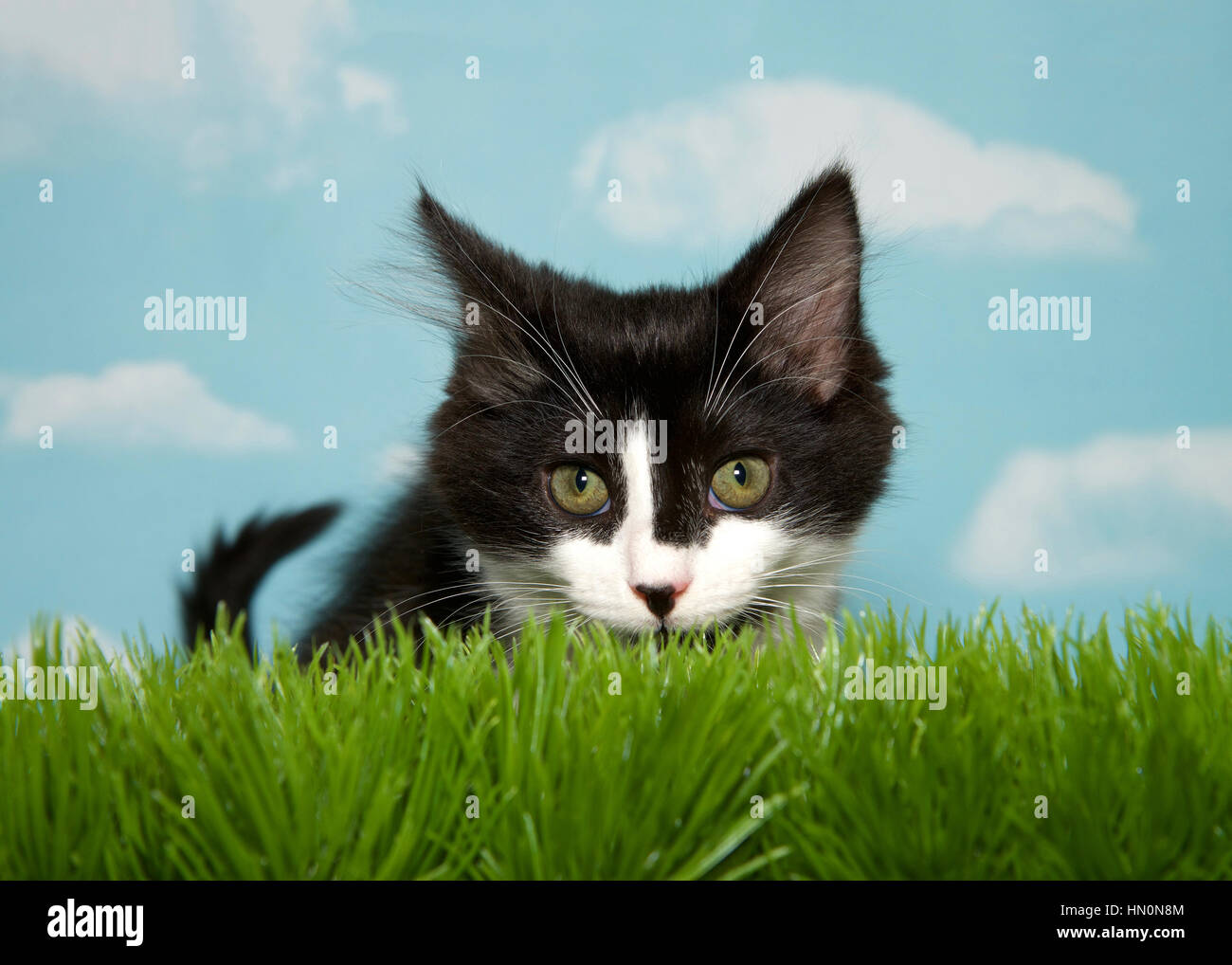 Black and white medium hair kitten crouched in long grass, blue background sky with clouds. Copy Space - Stock Image