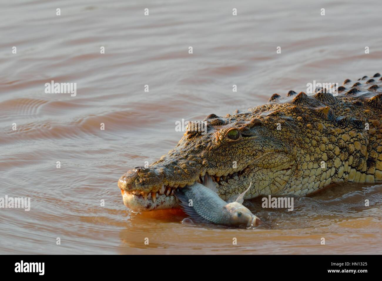 Nile crocodile (Crocodylus niloticus) with fish still alive in its mouth, Sunset Dam, Kruger National Park, Mpumalanga, - Stock Image