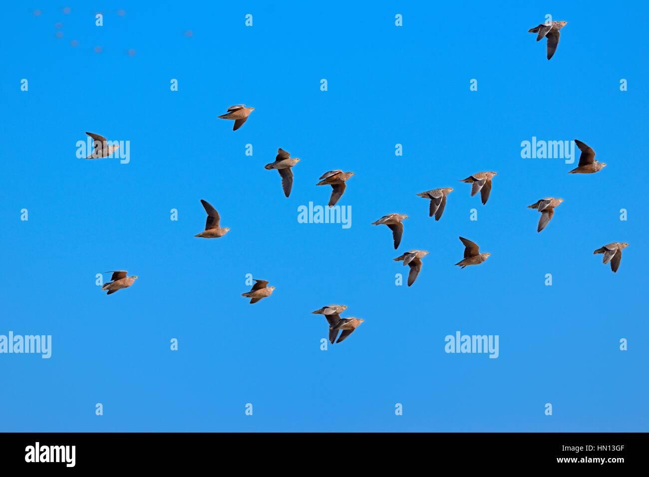Namaqua sandgrouses (Pterocles namaqua), flock of birds in flight, Etosha National Park, Namibia, Africa Stock Photo
