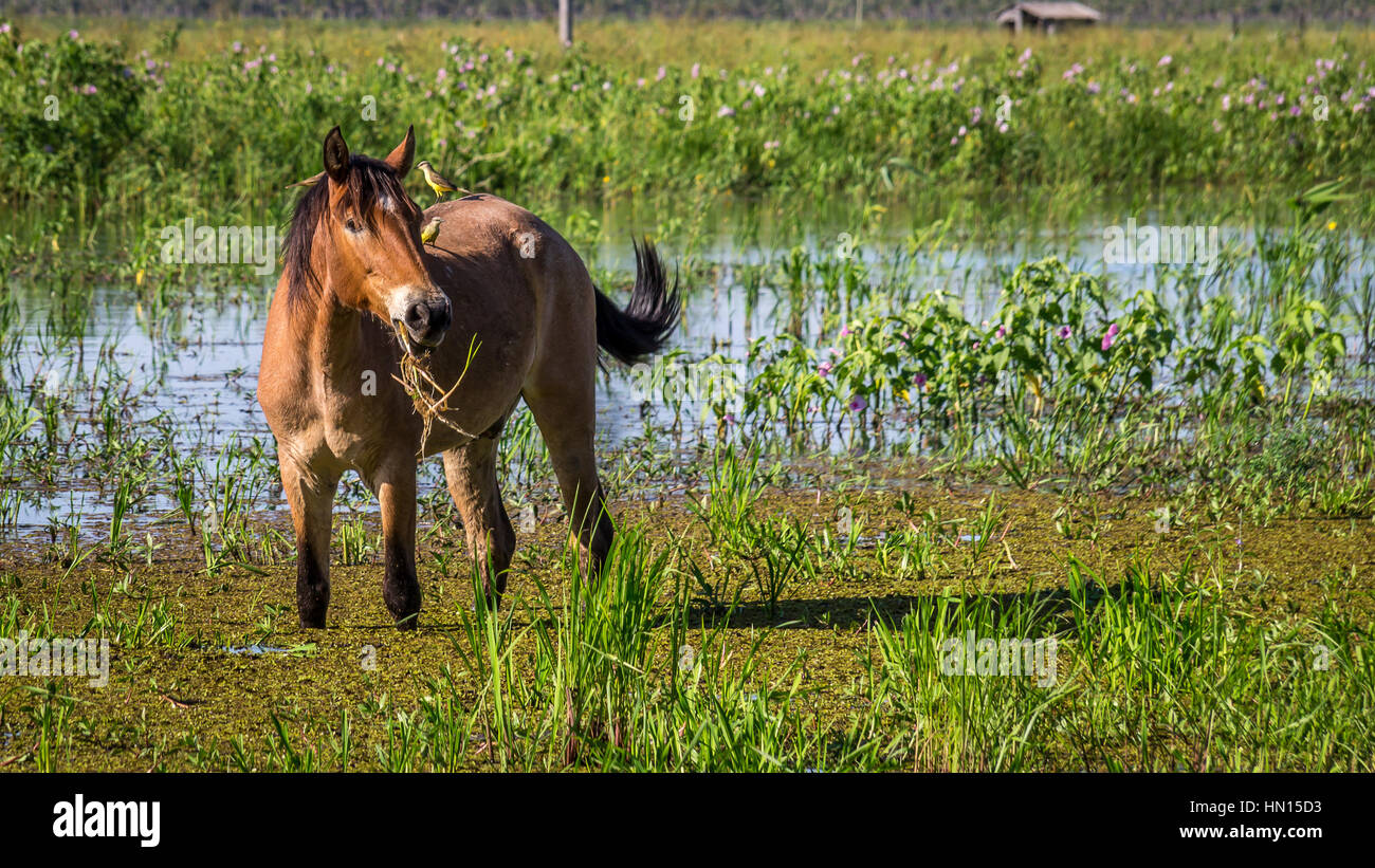 Portrait of a horse with two birds sitting on its back in Pantanal wetlands - Stock Image
