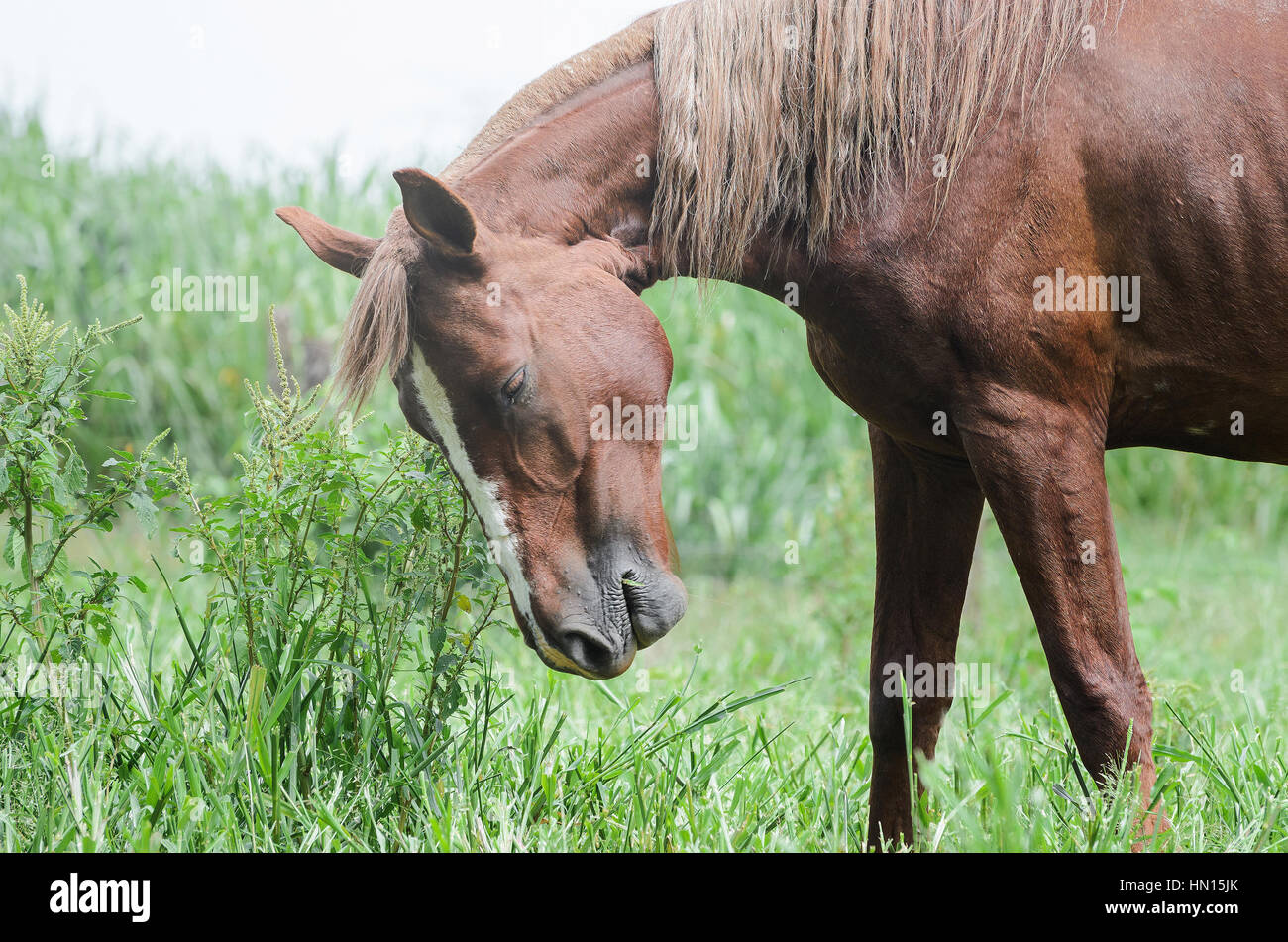 Brown horse upset. Horse on green field of farm with heads down. - Stock Image