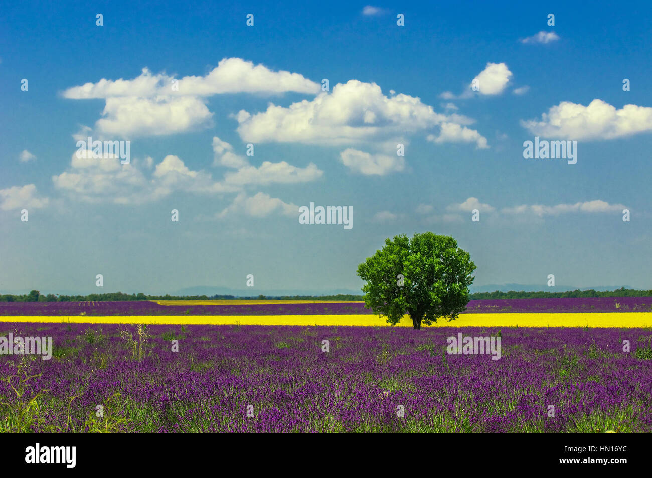 Tree in lavender field, Provence, France Stock Photo