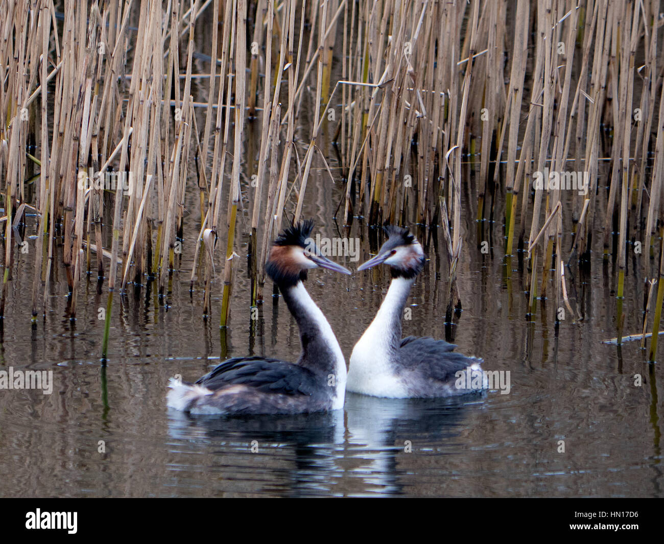 A pair of Great Crested Grebe's make a love heart shape with their necks and beaks while swimming on a reservoir - Stock Image