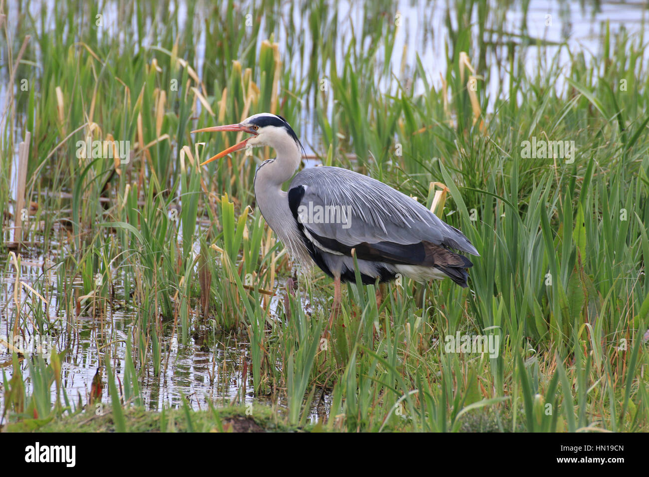 Grey heron In marsh with beak open - Stock Image