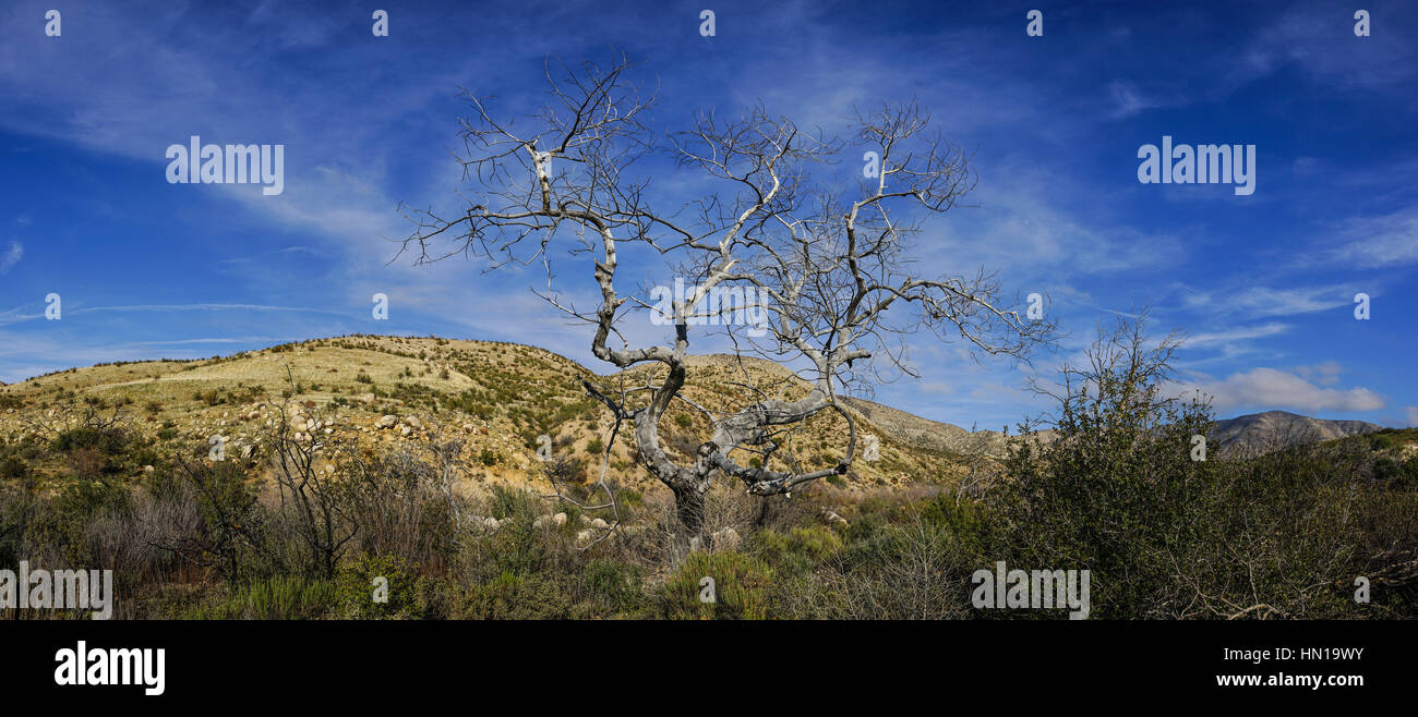 Dead tree stands in Mojave Desert wilderness of southern California - Stock Image