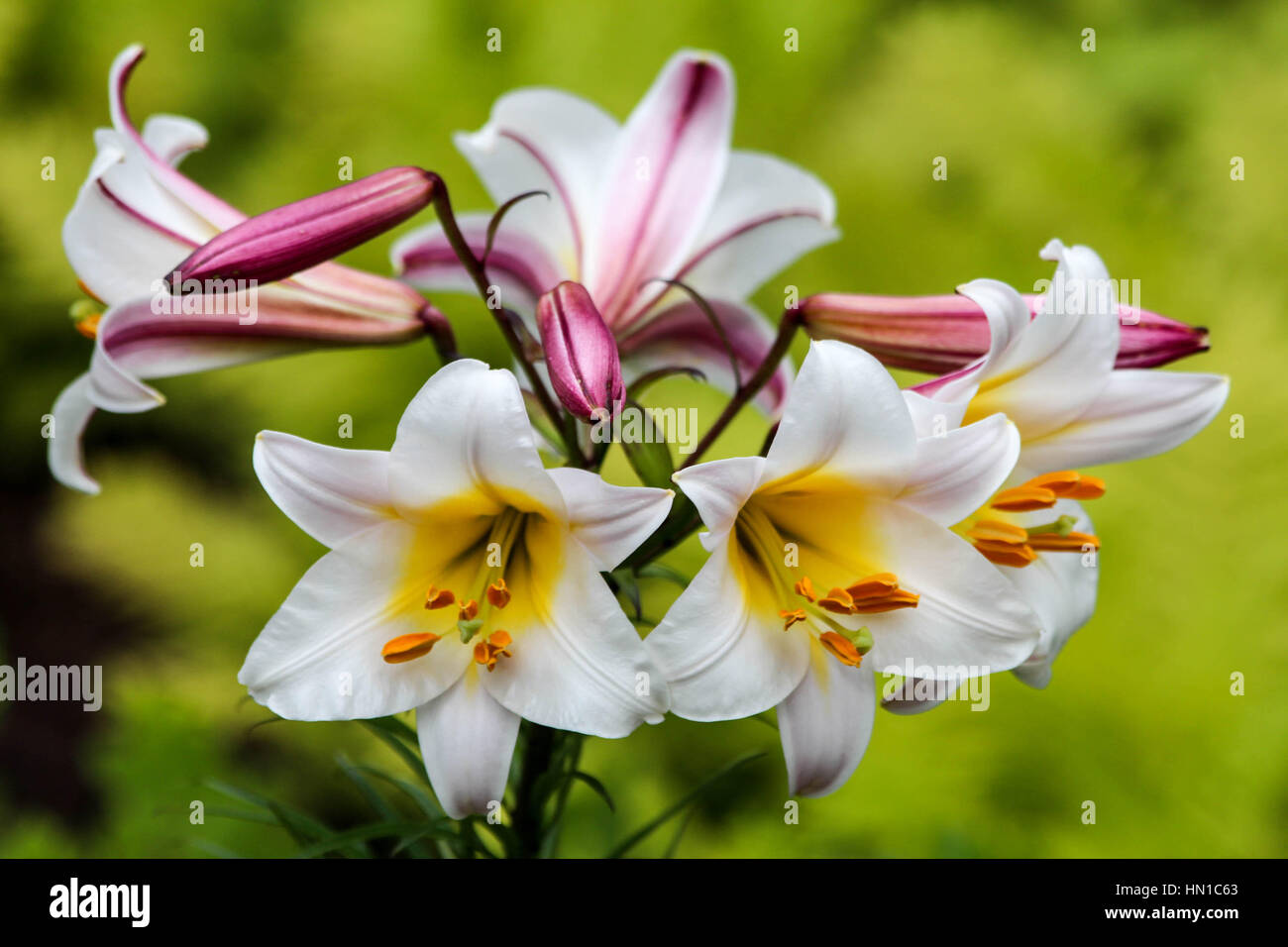 Beautiful white bright tropical lily flower stock photo 133411883 beautiful white bright tropical lily flower izmirmasajfo