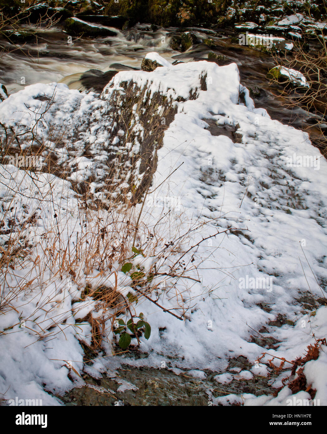grasses in winter snow, at Ingleton - Stock Image