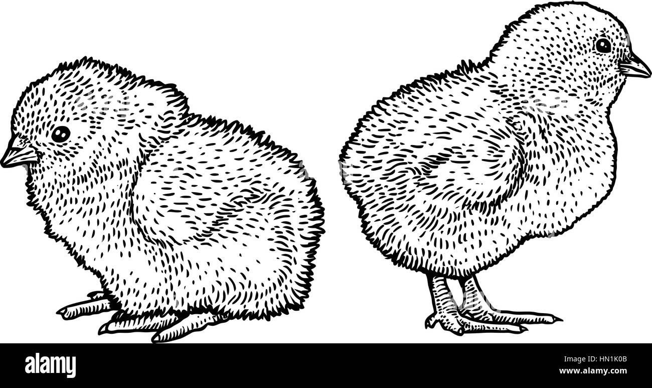 Chick illustration, drawing, engraving, line art - Stock Image