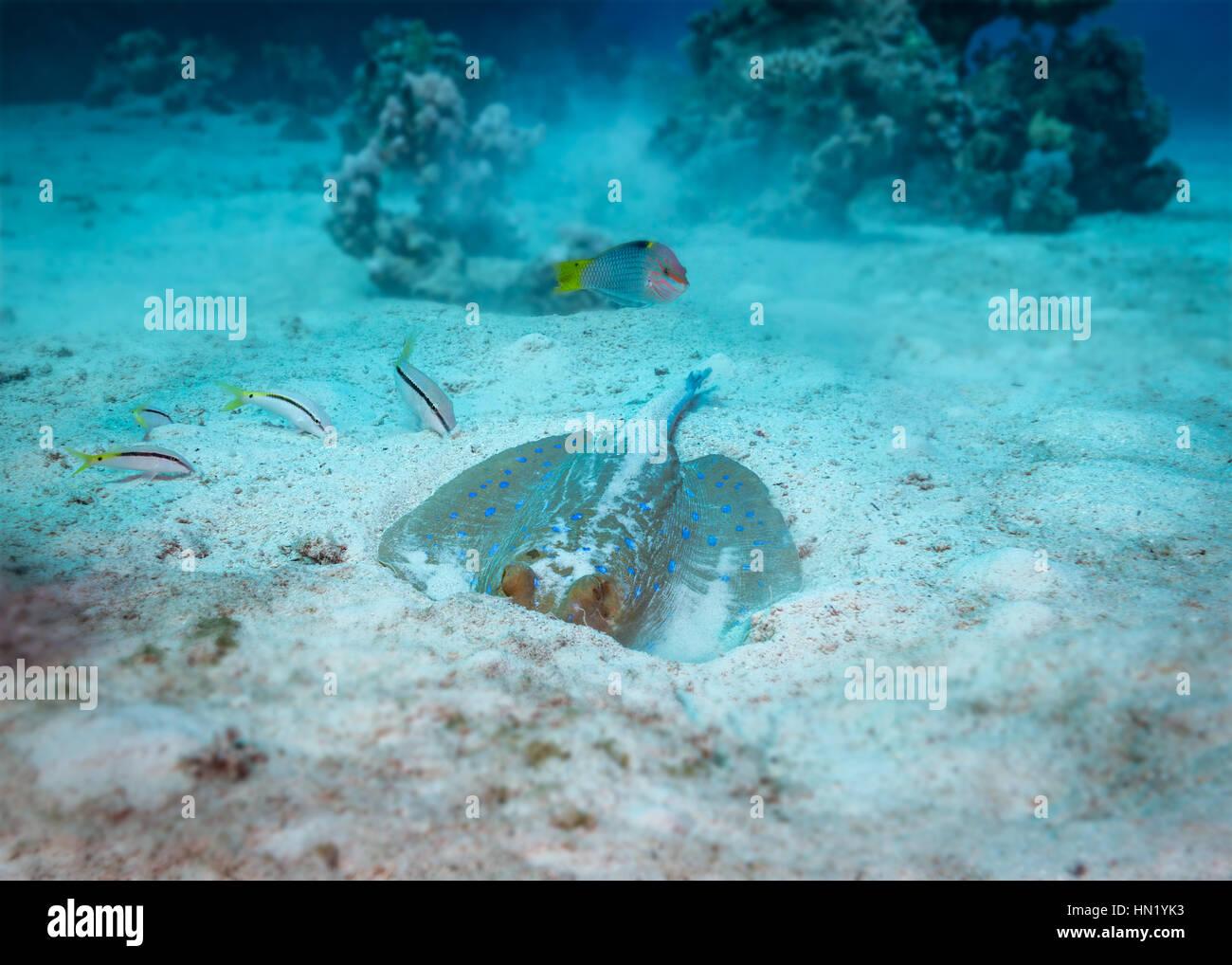 Blue spotted stingray (Taeniura lymma) underwater behaviour. Feeding with chequerboard wrasse (Halichoeres hortulanus) - Stock Image