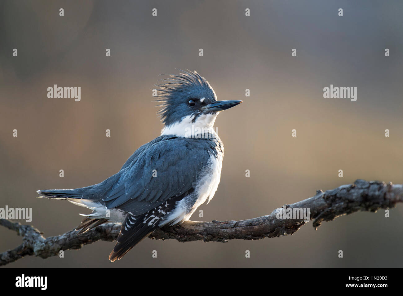 A male Belted Kingfisher perches on a branch with a proud pose as the late afternoon sun creates a soft glow around - Stock Image