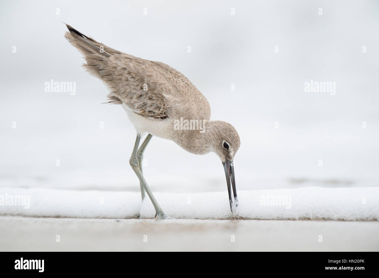 A Willet pushes its long bill into the wet sand on a beach in soft overcast light with a solid white background. Stock Photo