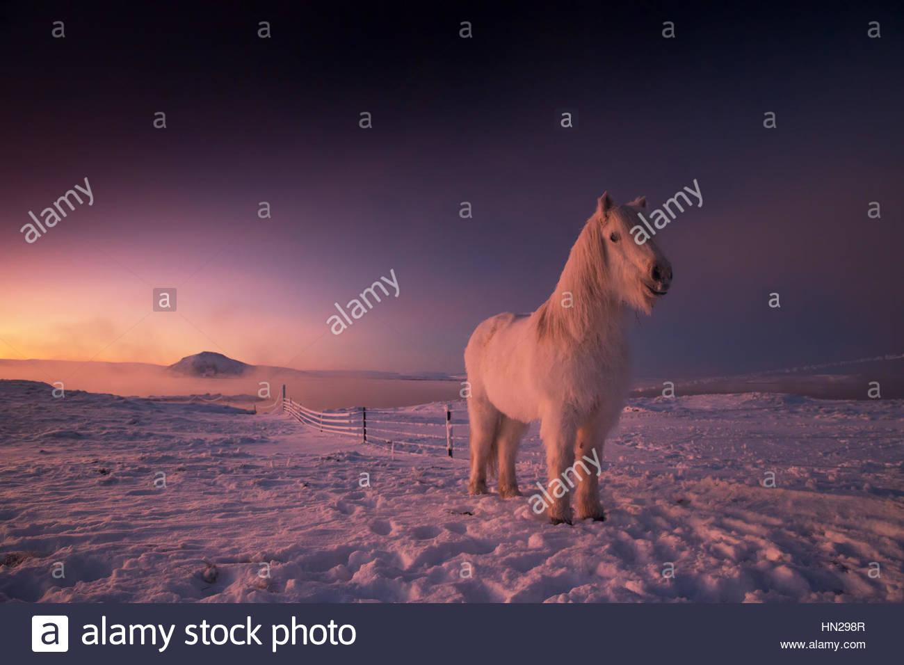 Icelandic horse, Equus ferus caballus, on snowy farm during sunset in Iceland. Stock Photo