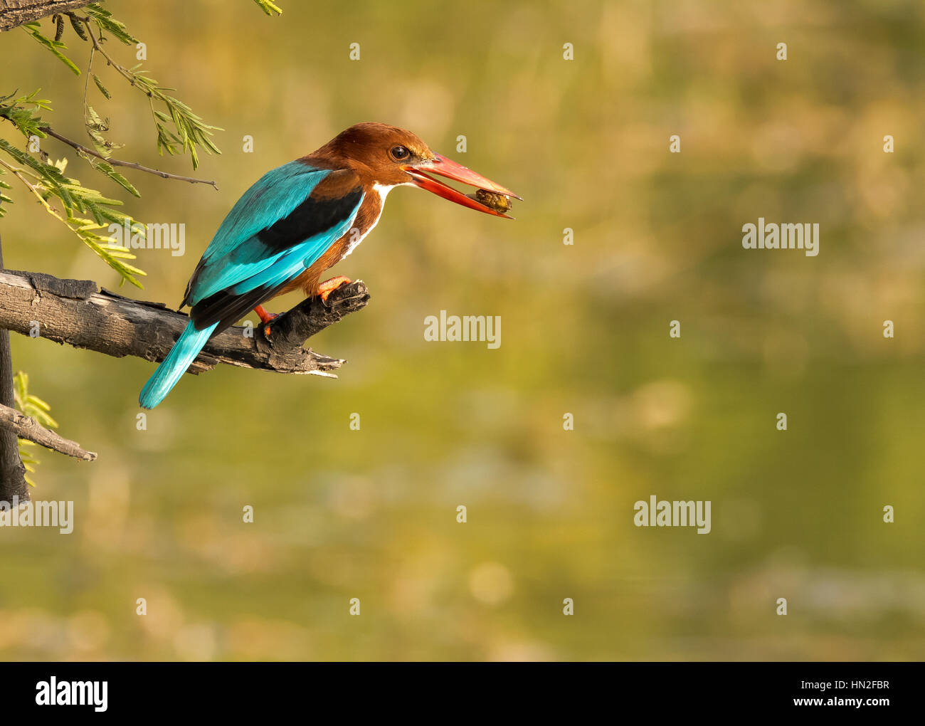 King-fisher with a catch - Stock Image