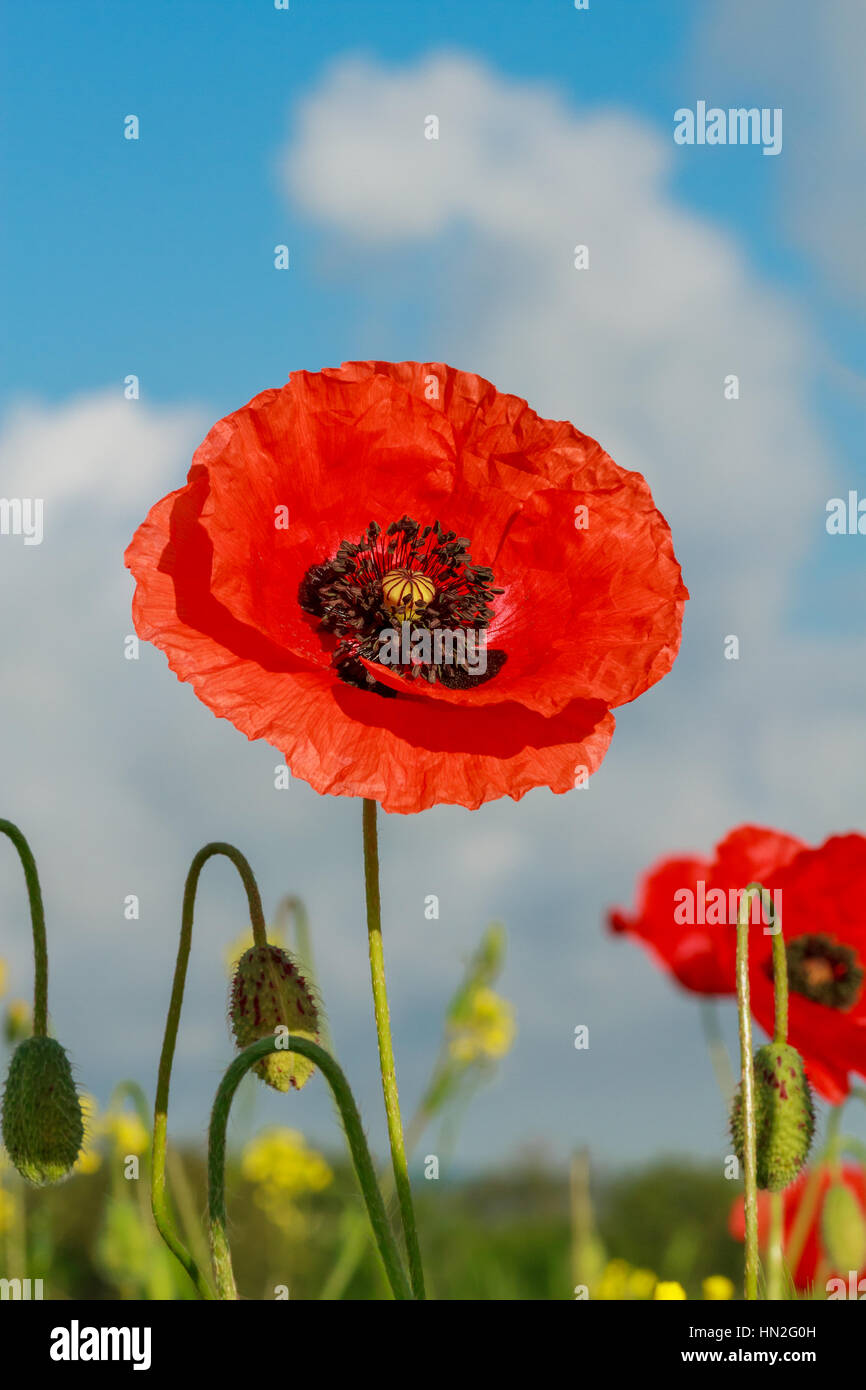 Single flower of wild red poppy on blue sky background with focus on flower - Stock Image