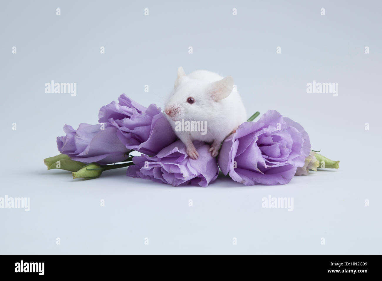 Albino mouse with puple flowers. - Stock Image