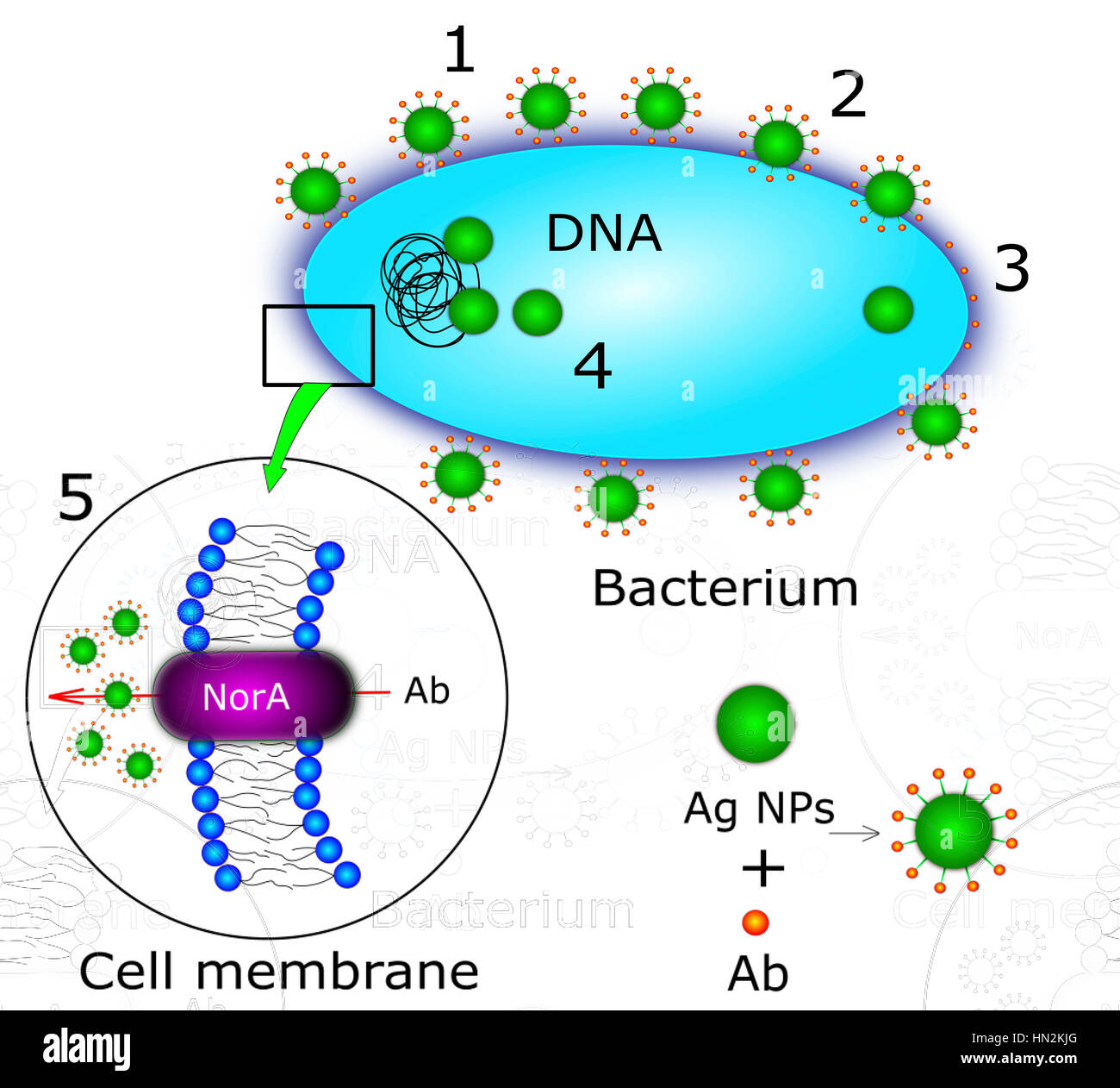 Mechanism of antibacterial action of nanoparticles,computer illustration.Nanoparticles can form complexes antibiotic - Stock Image