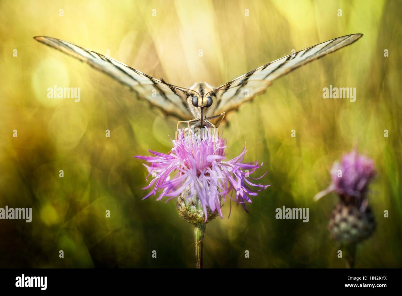 Butterfly sucking the nectar from a thistle. - Stock Image
