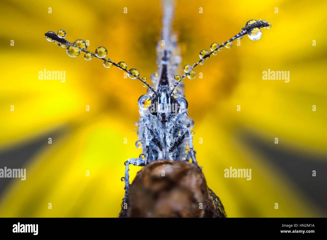 Butterfly with dew drops on its antennae. - Stock Image