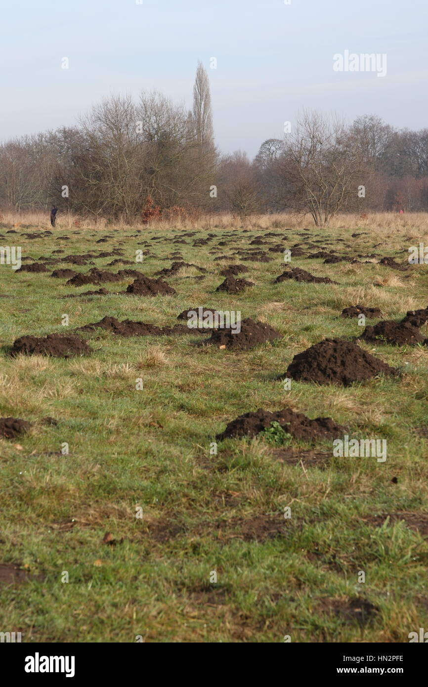 lots of molehills scattered all over common land near Ripley in Surrey Stock Photo