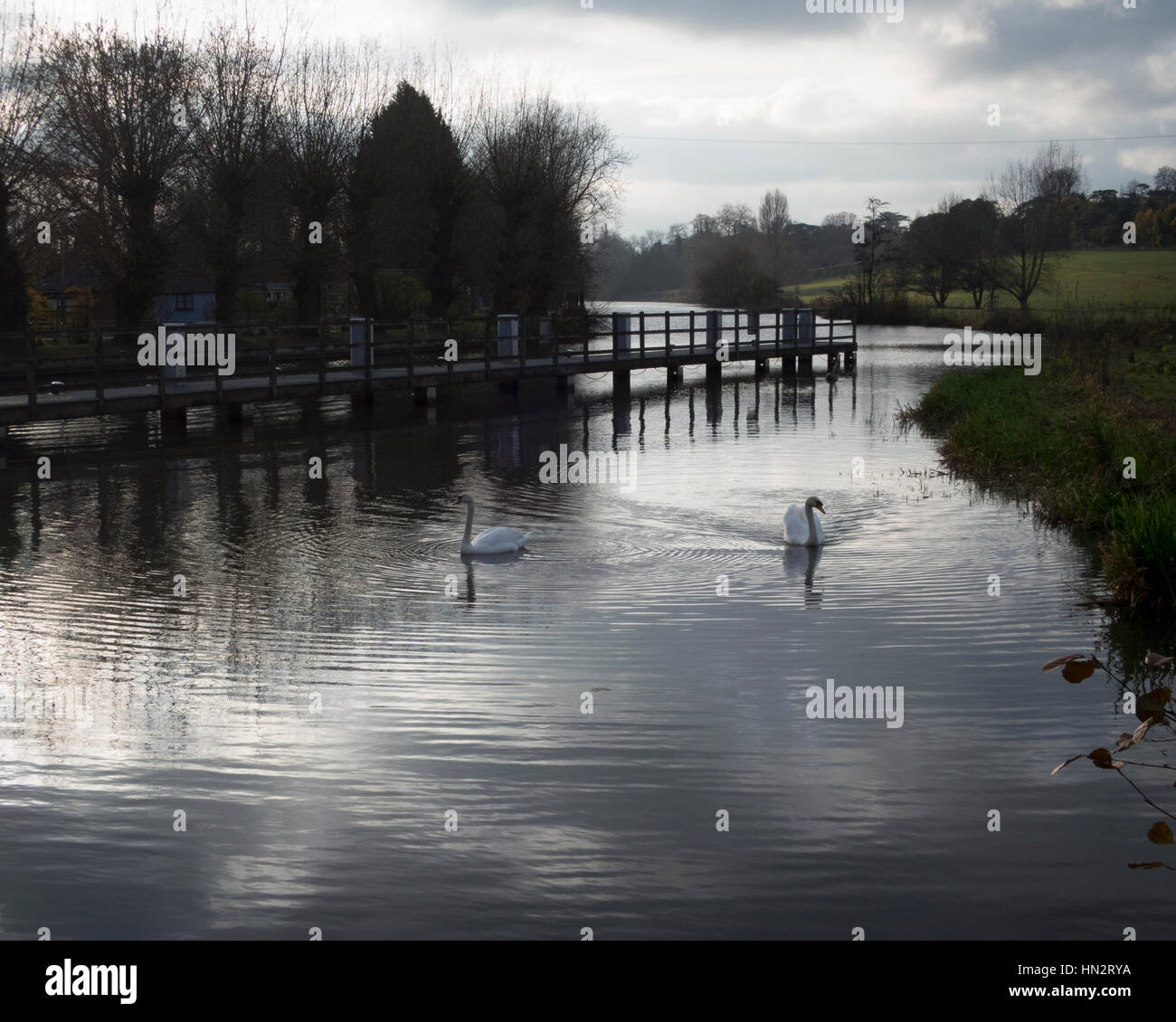 Swans on the River Thames Stock Photo