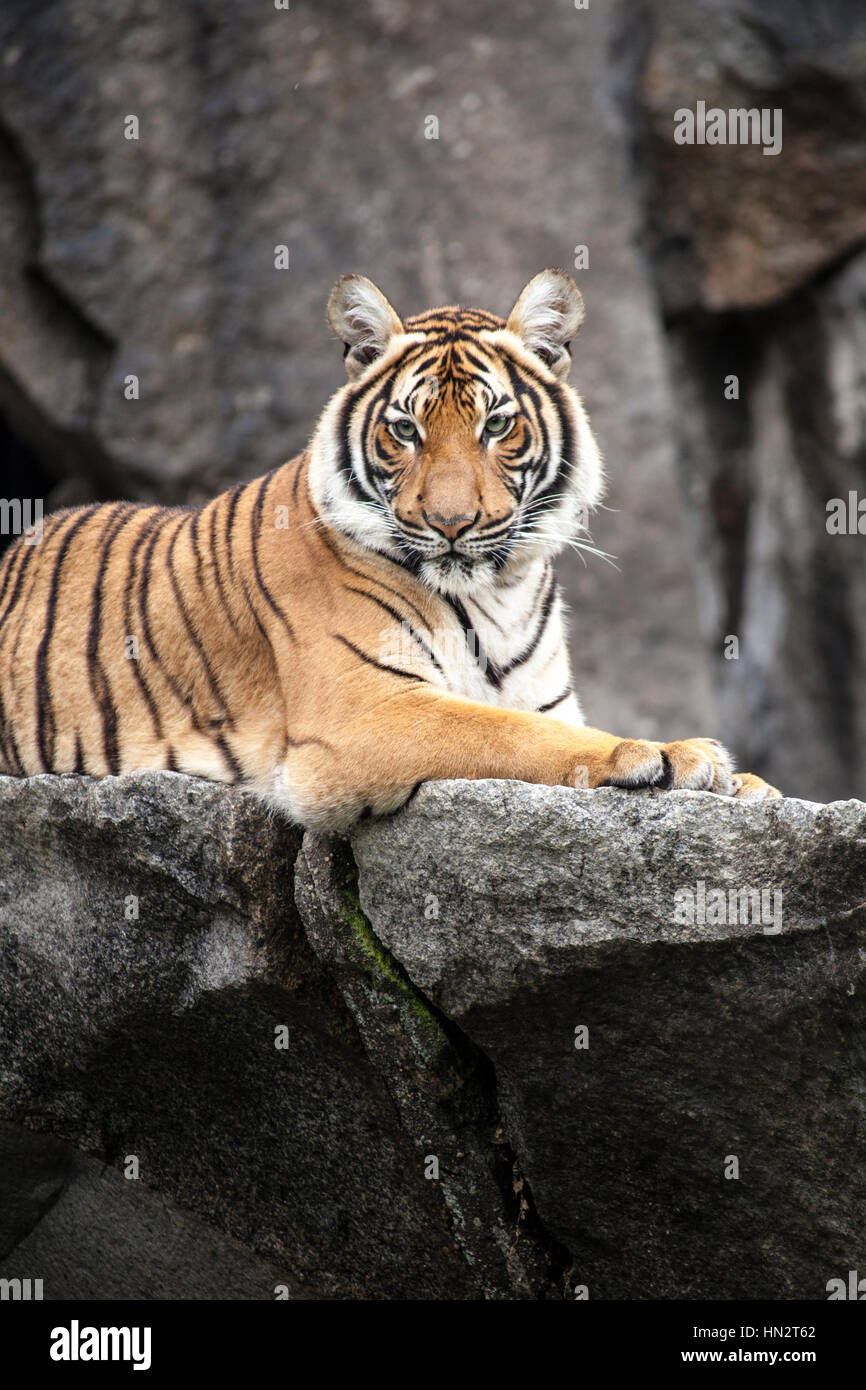tiger in berlin zoo stock photos tiger in berlin zoo stock images alamy. Black Bedroom Furniture Sets. Home Design Ideas
