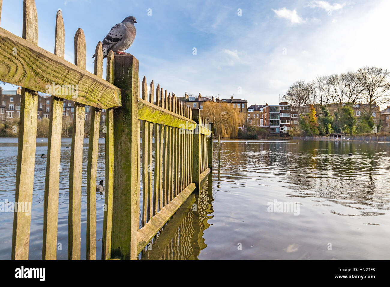 Old wooden fence full of moss inside of the lake in a british park with a pigeon sitting on top of it. - Stock Image