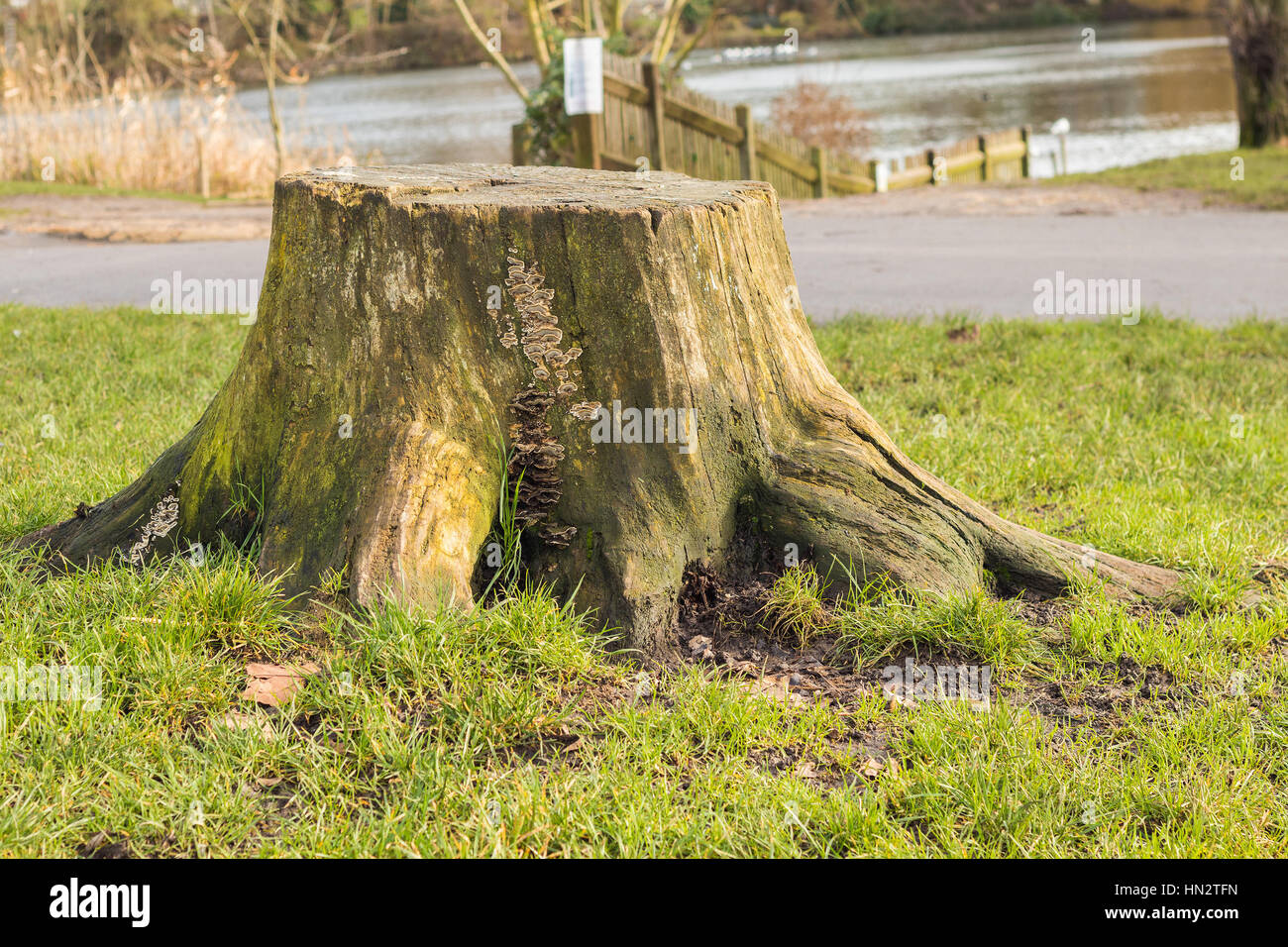 Old Tree Stump Of Cutted Tree In The Park Full Of