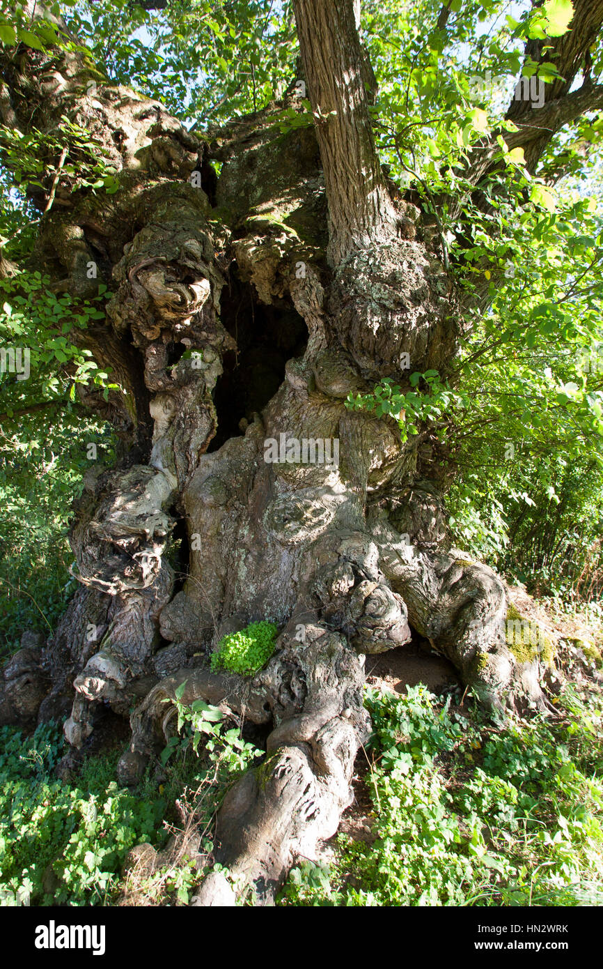 Flatterulme, Flatter-Ulme, Ulme, Flatterrüster, uralter Baum mit Baumhöhlen, Baumhöhle, Ulmus laevis, - Stock Image