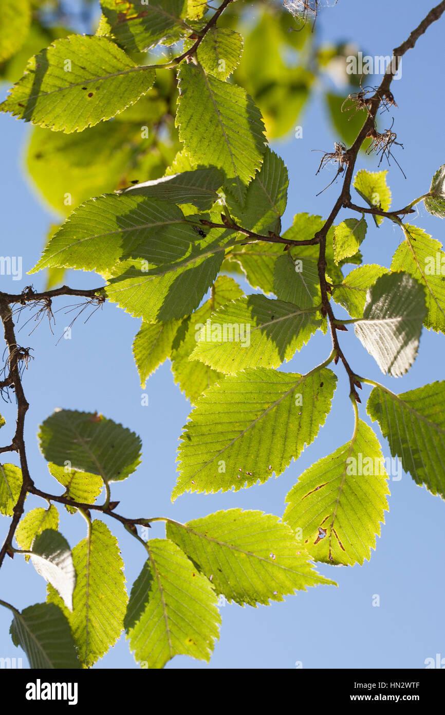 Flatterulme, Flatter-Ulme, Ulme, Flatterrüster, Blatt, Blätter, Ulmus laevis, Ulmus effusa, European White - Stock Image