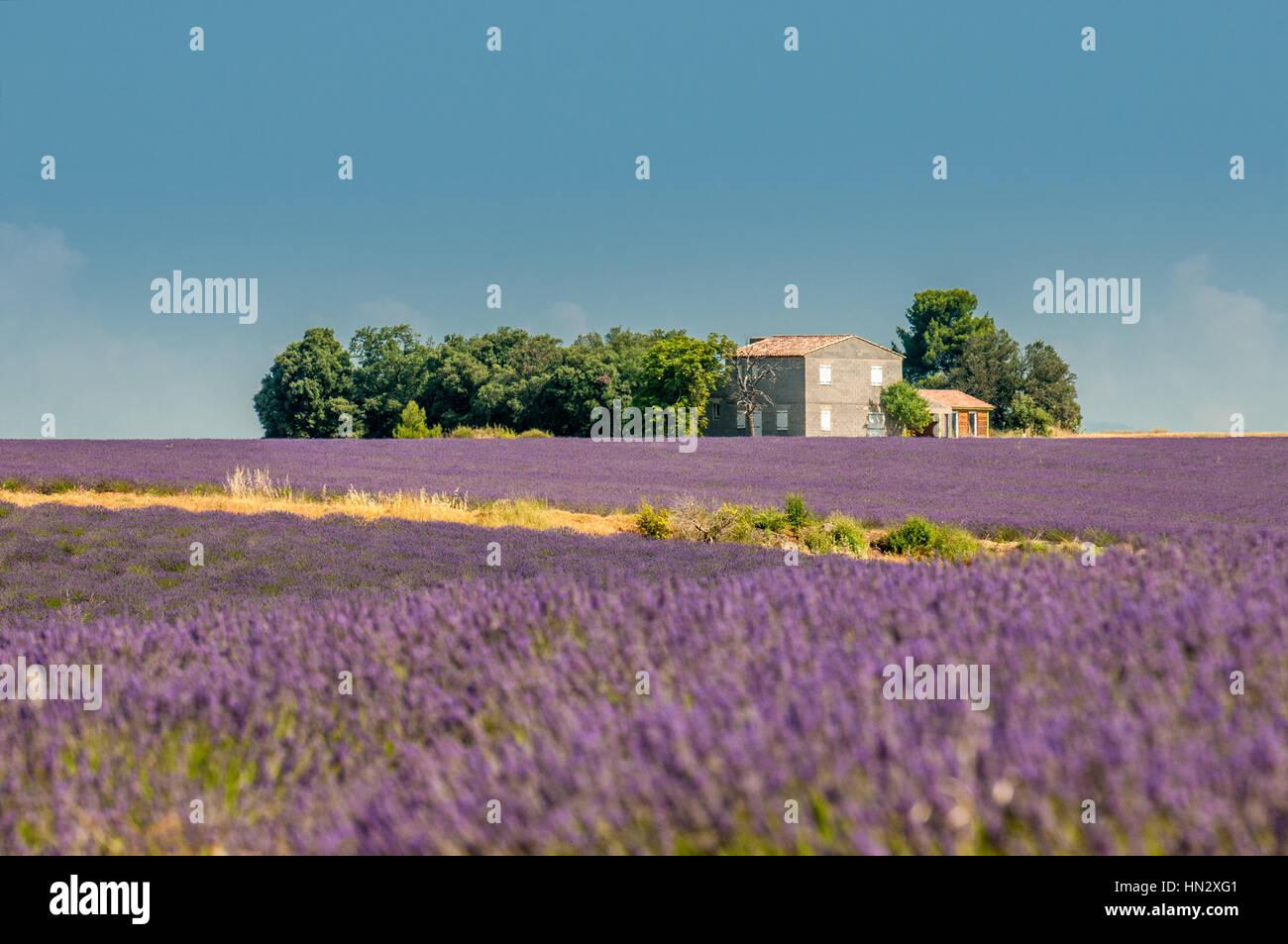 Lavender field, Provence, France Stock Photo