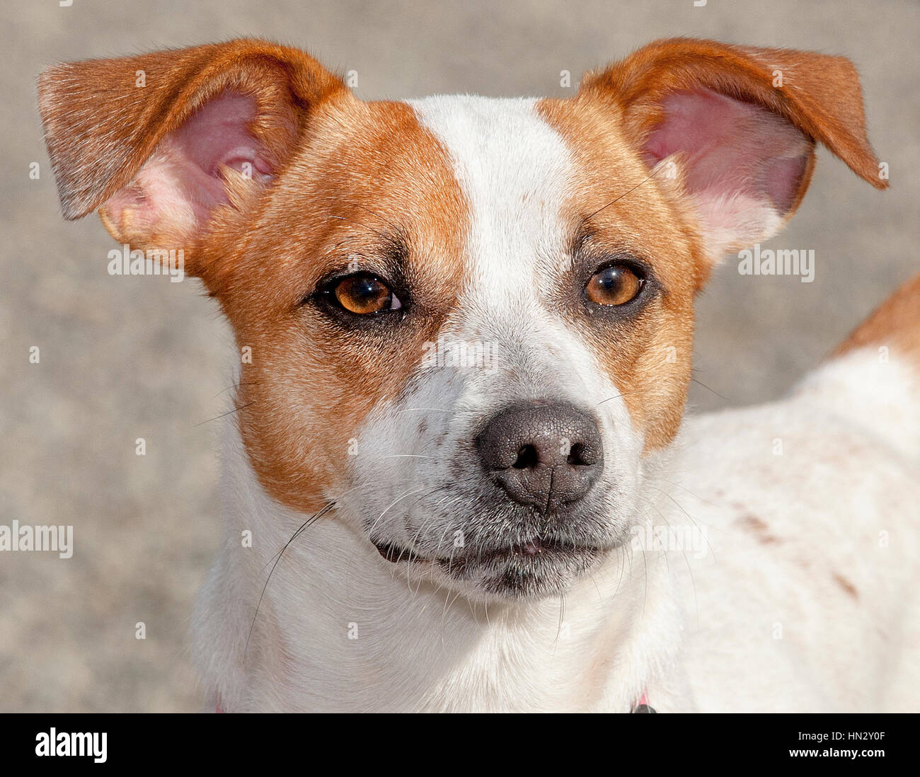 Adorable white and brown small dog headshot close up outside in the sun stock image