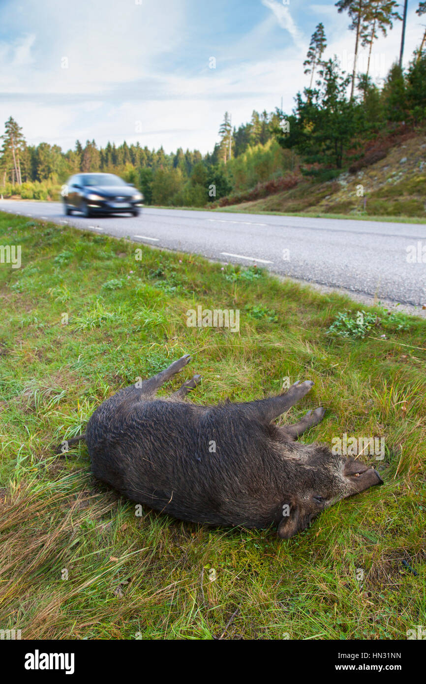 Wild boar (Sus scrofa) roadkill after collision with speeding car - Stock Image