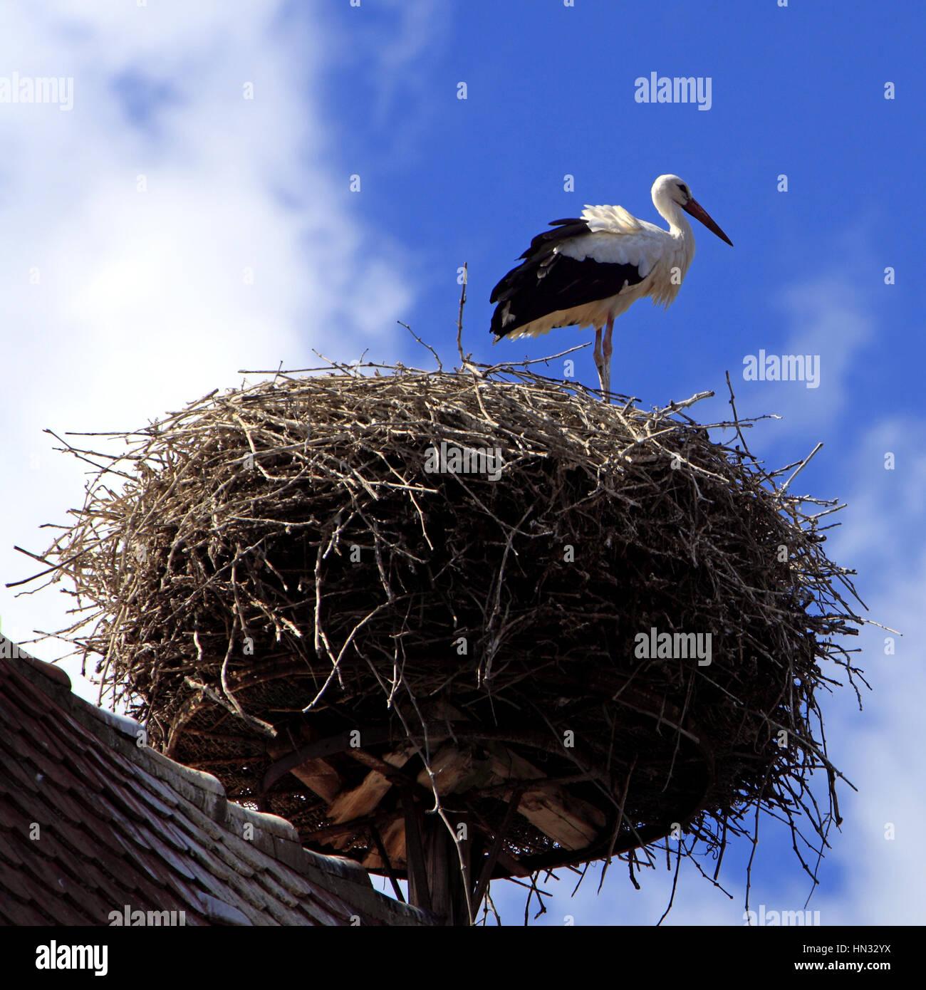 Cigogne au nid sur une toiture dans le village. Ribeauvillé.  F 68 - Stock Image