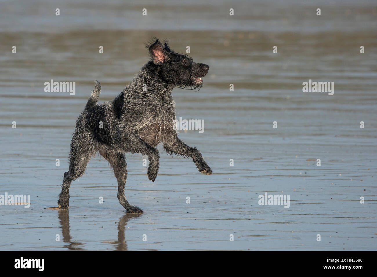 German Wire Haired Pointer Stock Photos & German Wire Haired Pointer ...