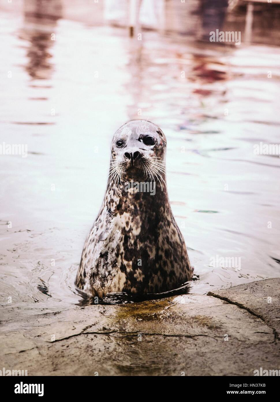 A Sea Lion just above the waters surface Stock Photo