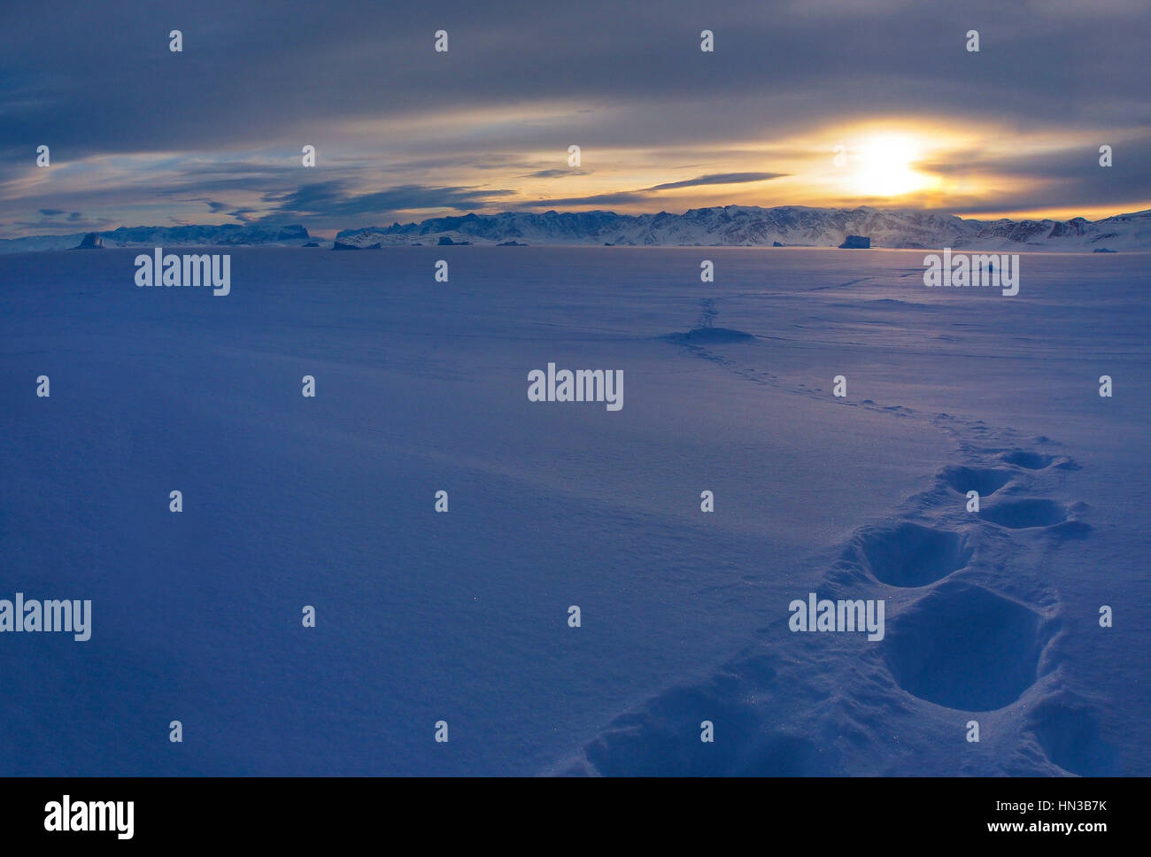 Polar Bear Tracks In A Remote Part Of Frozen Over Scoresby Sound In Greenland - Stock Image